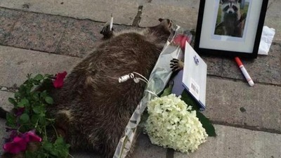 Noble Torontonians Set Up a Memorial for a Dead Raccoon That Animal Services Didn't Pick Up