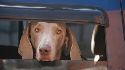 It's Now Legal to Break Into Cars to Save Animals in Tennessee