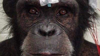 Forscher koppeln drei Affenhirne zu einem Superhirn