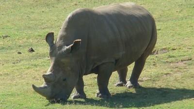 Wat moet je doen als je de laatste mannelijke neushoorn bent en je wil nog niet uitsterven?