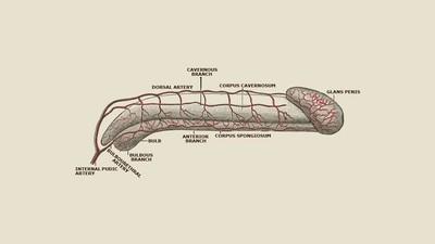 Wissenschaftler haben herausgefunden, was einen hübschen Penis ausmacht