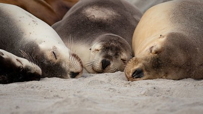 South Australia Wants to Solve Their Seal Problem with Underwater Bombs