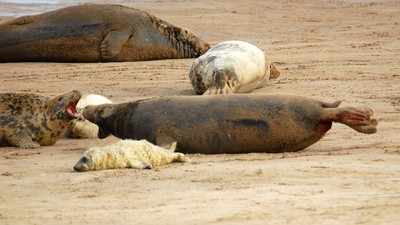 Proposal Could See Newfoundland Selling Asia a Bunch of Seal Dicks