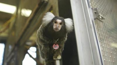 Entrenamiento para uso experimental (escena extra de 'Monos de laboratorio')