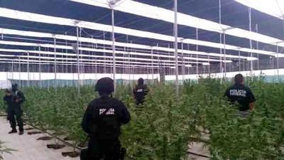 Autoridades mexicanas descubren enormes invernaderos de mariguana en Jalisco controlados por colombianos