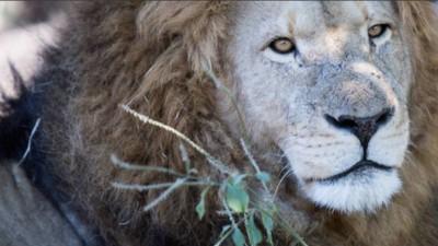 Zahnarzt erlegt Simbabwes Löwen und das Internet killt seine Yelp-Reputation