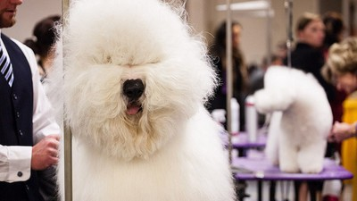 Do Chubby Show Dogs Set Dangerous Body Standards for Regular Pets?