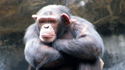 The Chimp Personhood Lawsuit Just Got Thrown Out