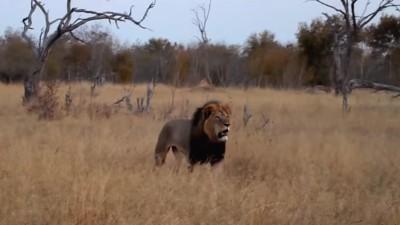 Een gesprek met de vrouw die Cecil de leeuw heeft gesproken, na zijn dood