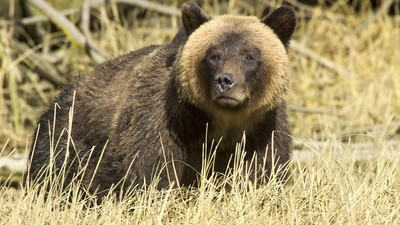 Canada's Controversial Grizzly Bear Hunting Season Has Just Begun