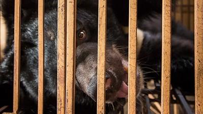 El terrible tráfico de bilis de oso en Vietnam