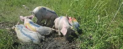 8 moduri prin care românii au luptat mereu împotriva musulmanilor prin porc