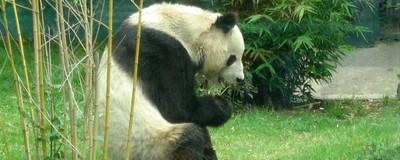 Ya no hay fiebre por los pandas en México