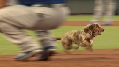 Este perro salchicha experimenta la verdadera felicidad del beisbol