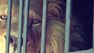 Krokodillen, tijgers en apen: in Mexico kan je ongestraft exotische dieren kopen