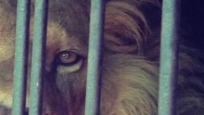 Narcos Mexicanos Podem Comprar Leões, Chitas e Outros Animais Exóticos Legalmente no País