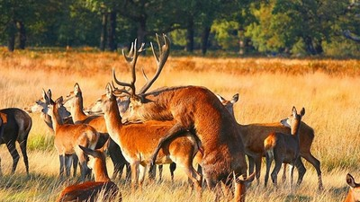 Some 'Sex-Crazed' Deer Have Escaped from a Devon Farm