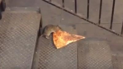 Die Pizza-Ratte verkörpert alles Heldenhafte
