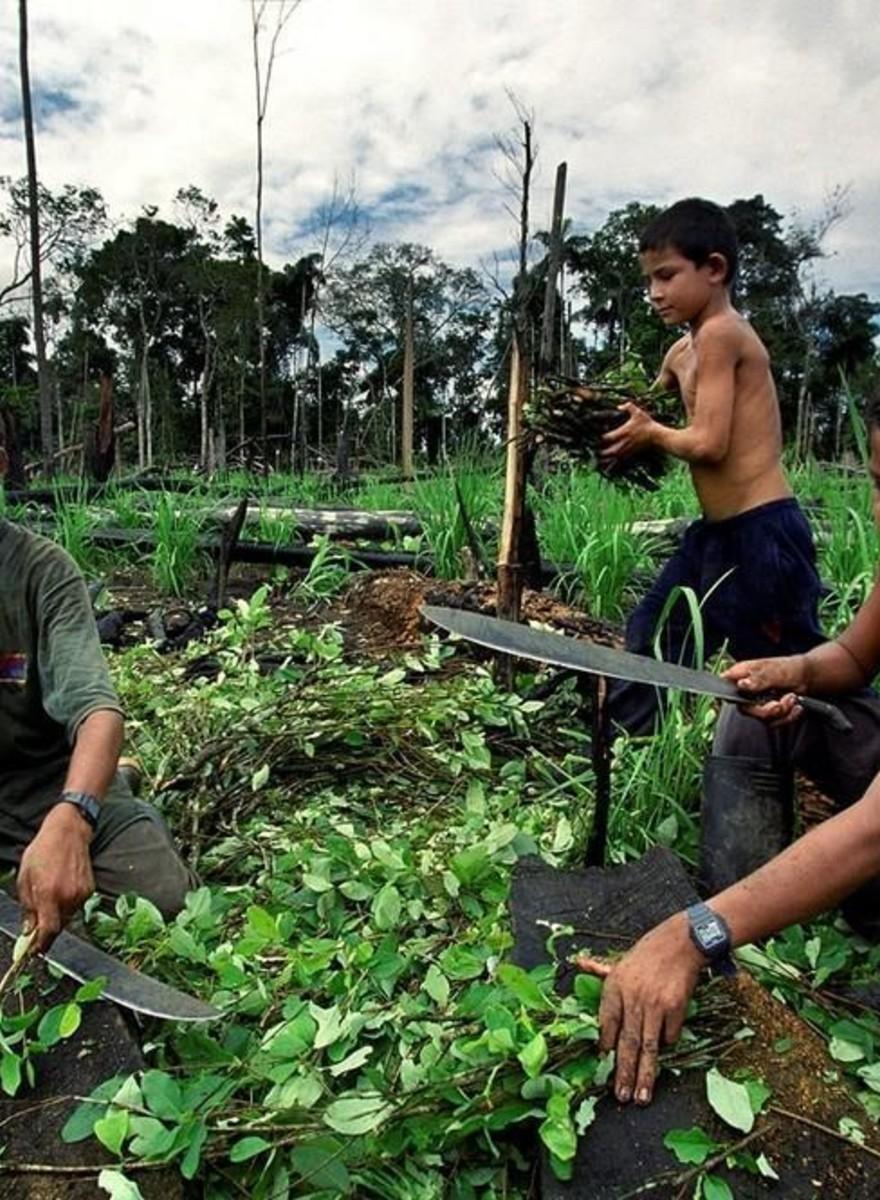 El viaje de la coca: de los campos a las narices de todo el mundo