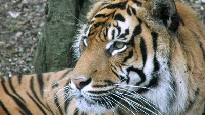 Tigers Kill People a Lot More Often Than You Think