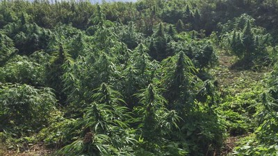 Police Found a Cannabis 'Forest' in Outer London