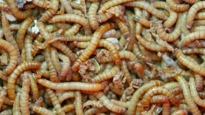 Könnten plastikfressende Mehlwürmer unser globales Müllproblem lösen?
