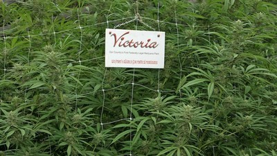 Victoria Will Be Australia's First State to Legalise Medical Weed