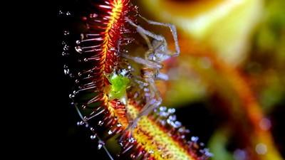 Ein Biolapse zeigt fleischfressende Pflanzen in Aktion