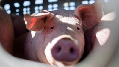 An Animal Rights Activist Is Going to Court for Giving Water to a Pig