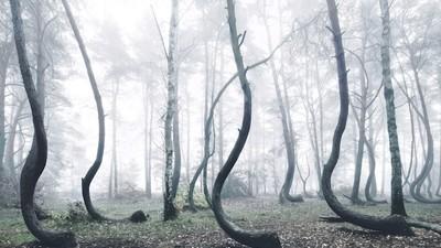 In dit bos in Polen zijn bijna alle bomen gebogen, en niemand weet precies waarom