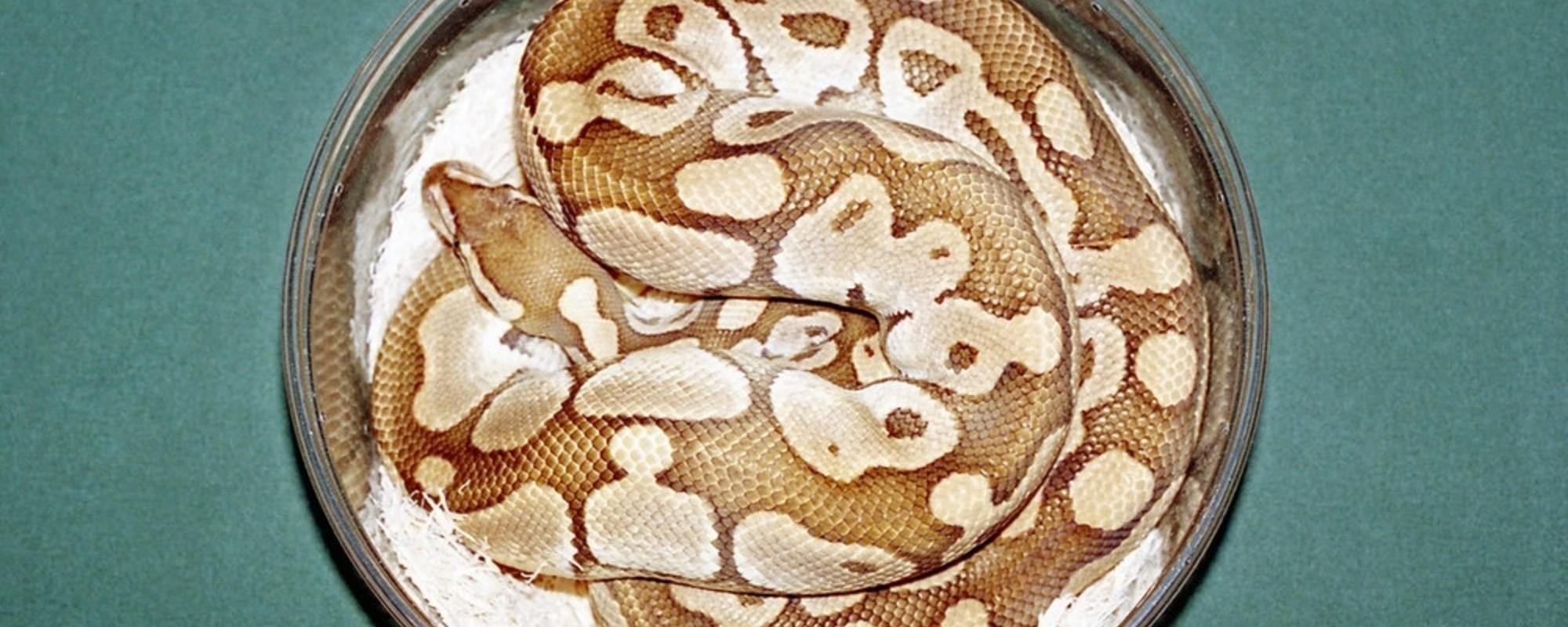 Fotografii cu șerpi, șopârle și păianjeni de la cea mai mare expoziție de reptile, din Quebec