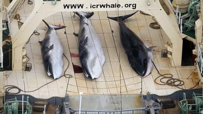 Japón vuelve a matar ballenas en nombre de la investigación