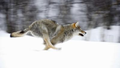 Más de 11.000 noruegos se registran para cazar a sólo 16 lobos