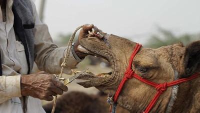 En imágenes: miles de camellos cruzan el desierto indio para una feria anual