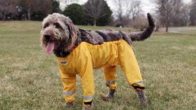 Así es cómo un perro debería llevar un pantalón
