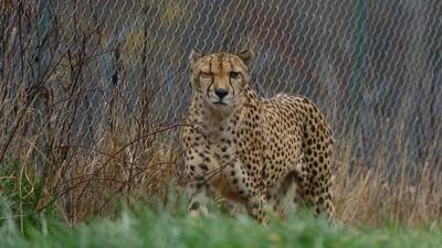 Cheetahs Are Hard