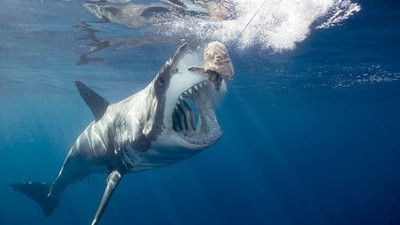 Here's Why We've Never Been Able to Tame the Great White Shark