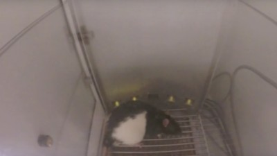 This Rat Casino Shows Us Why We Love to Gamble