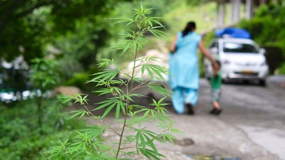 The Farms of Northern India Are Laced with Cannabis