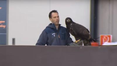 La policía holandesa está entrenando águilas para atacar drones