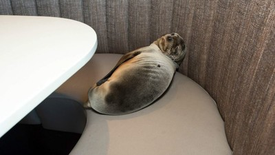 A Starving Sea Lion Dragged Itself to a San Diego Restaurant Booth