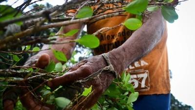 Un nou tip de frunze de coca se răspândește în sudul Columbiei