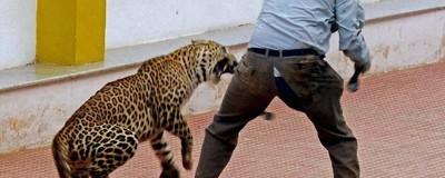 Ein Leopard ist durch eine indische Schule gewütet und hat sechs Menschen verletzt