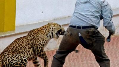Un leopard a mutilat șase oameni într-o școală din India