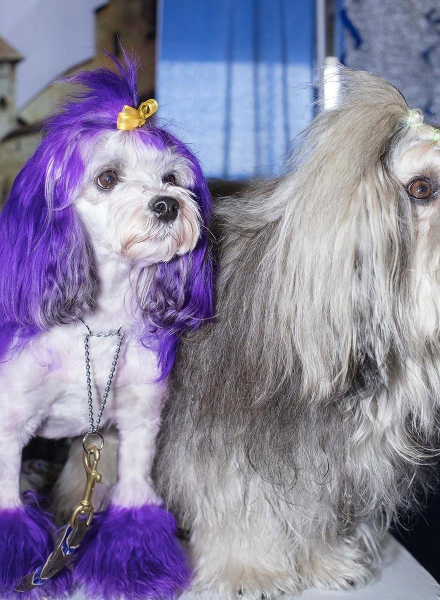 De bizarre kitschwereld van de Westminster Dog Show