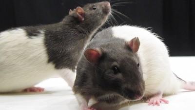 Ein Wissenschaftler erklärt uns die Gemeinsamkeiten zwischen Ratten und Ravern
