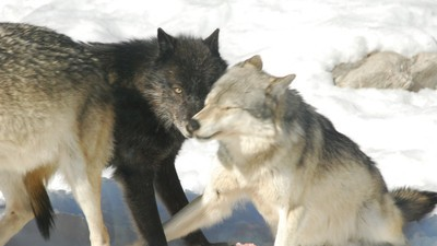 Why This Canadian Province Is Slaughtering All Its Wolves
