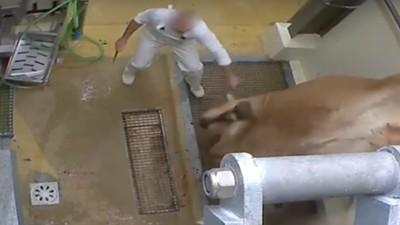 Nuevo vídeo sobre el cruel maltrato a los animales en un matadero francés