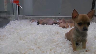 El oscuro negocio del tráfico masivo de perros en España