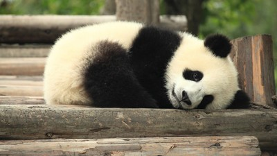 If We Can't Save Pandas, We Can't Save Anything